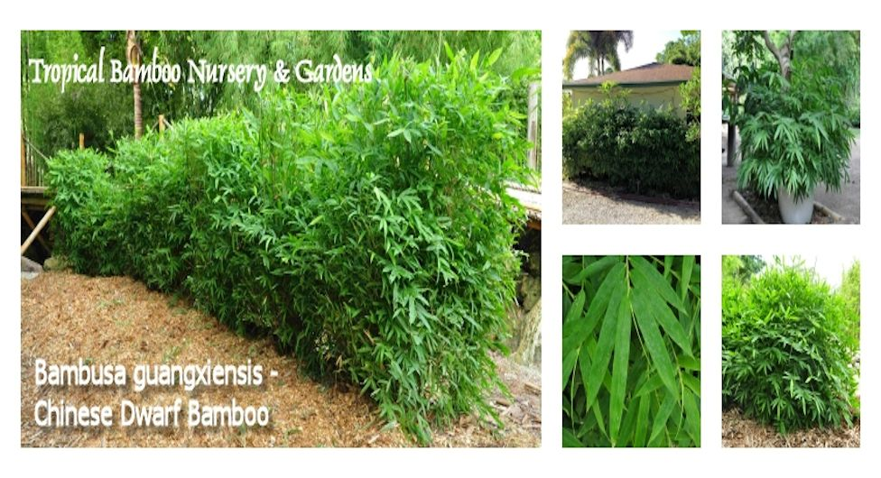 Tropical Bamboo Nursery & Gardens - The Bamboo Plant Source