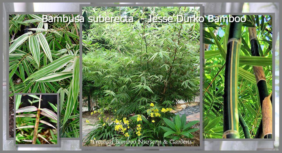 Tropical Bamboo Nursery & Gardens - The Bamboo Plant Source