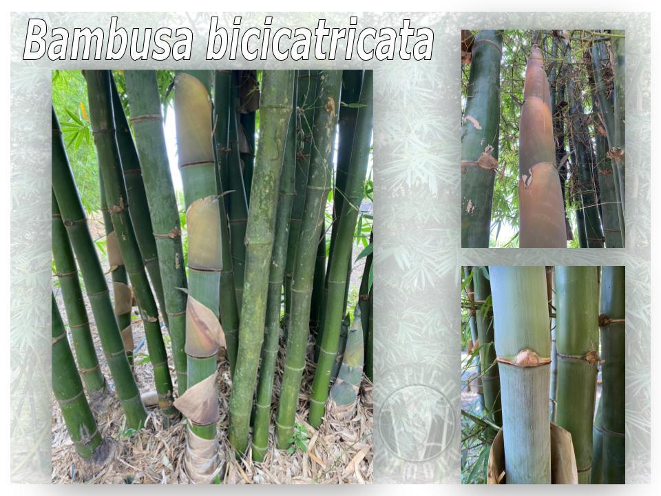 Tropical Bamboo Nursery & Gardens - Tropical Bamboo Plant List