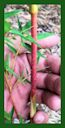 Click for Bamboo Plant Photos