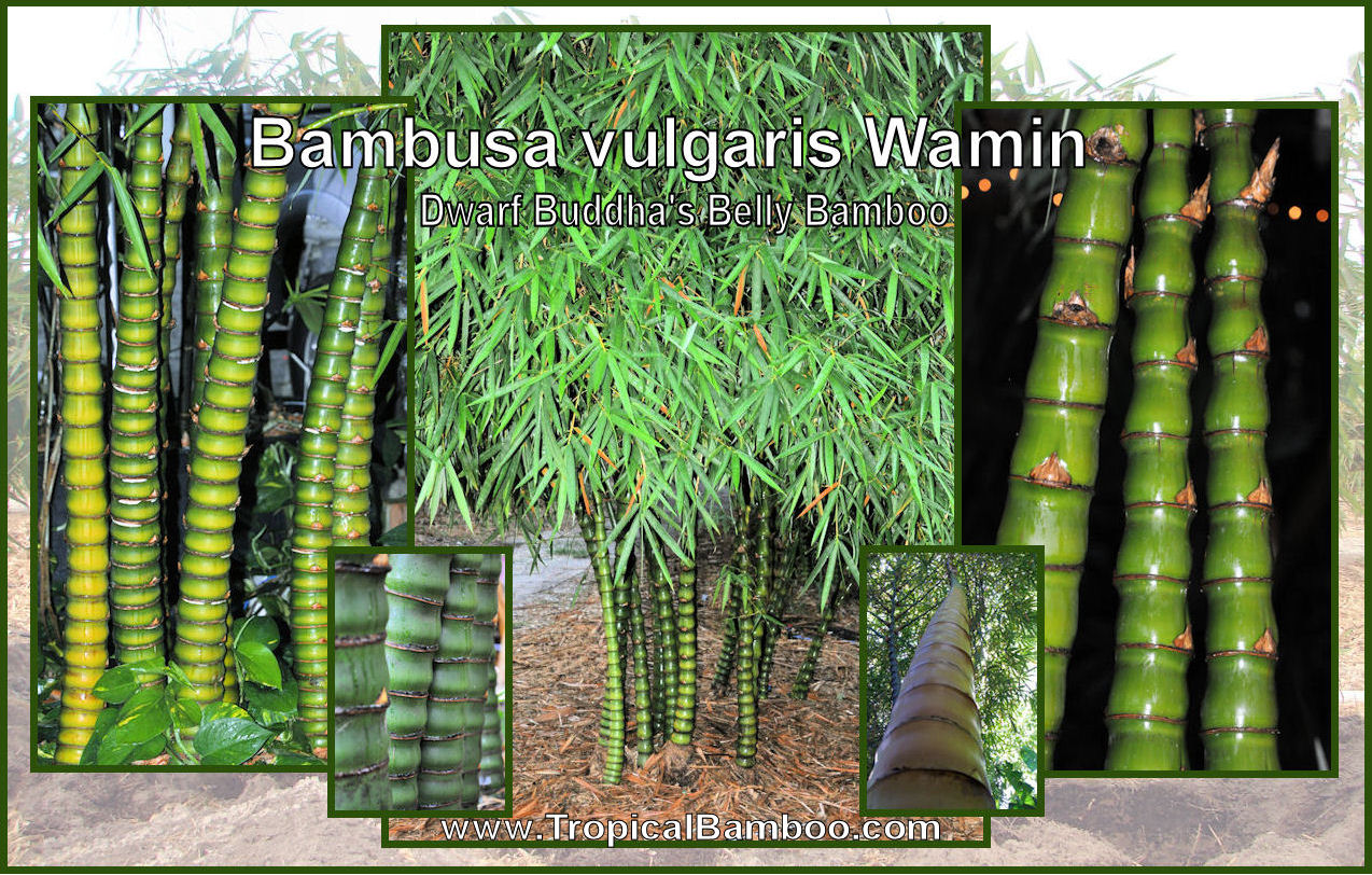 Tropical Bamboo Nursery and Gardens - Featured Bamboo Plants