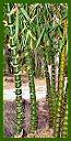 Click for Bamboo Plant Photos