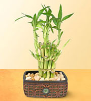 How Do I Care For My Bamboo That Grows In Water Pebbles Lucky