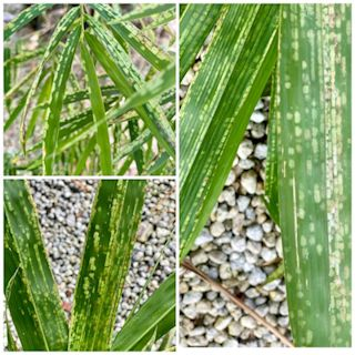 Spider Mite Damage on Bamboo Leaves